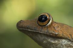 Rusty Treefrog - Hypsiboas boans