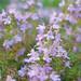 lilac alpine flower