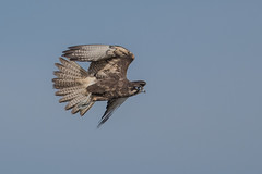 Brown Falcon- At Hover