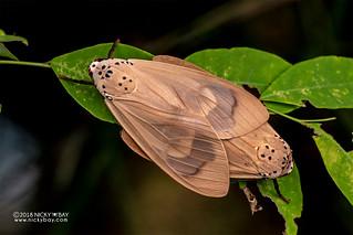 Moth (Amerila sp.) - DSC_5806