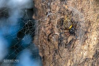 Hermit spider (Nephilingis cruentata) - DSC_5768