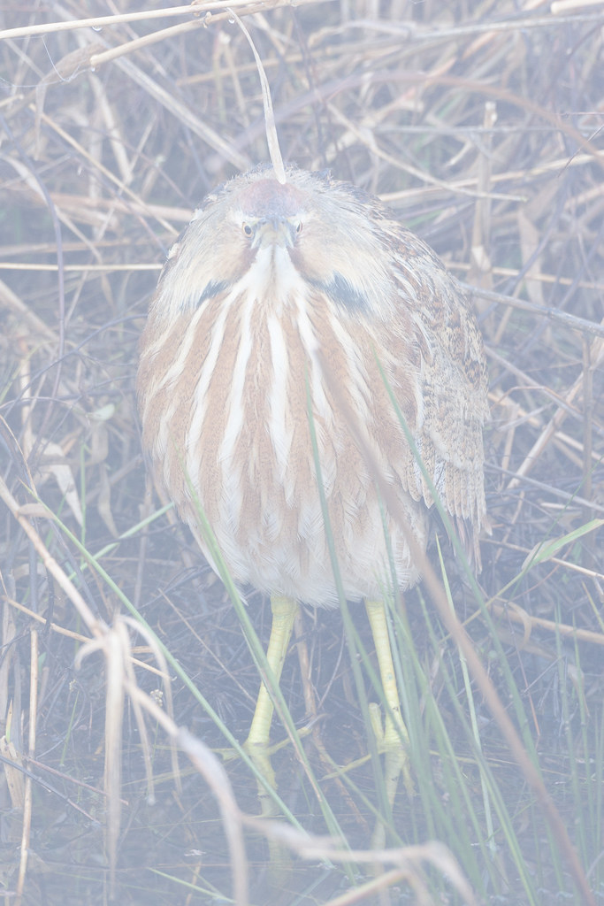 An American bittern stands on a shoreline in heavy fog at Ridgefield National Wildlife Refuge in Washington