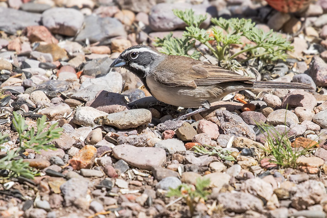 Black-throated-Sparrow-7-7D2-041718