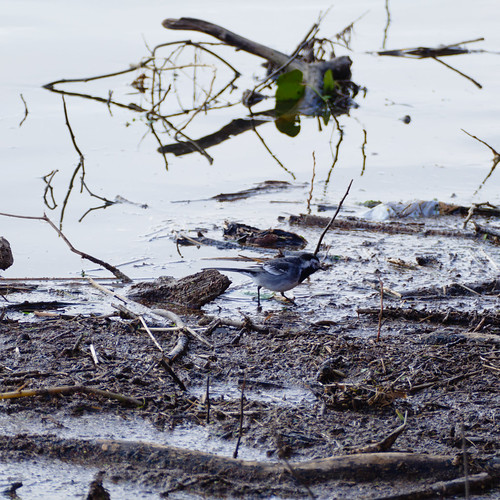 Pied wagtail on river flotsam