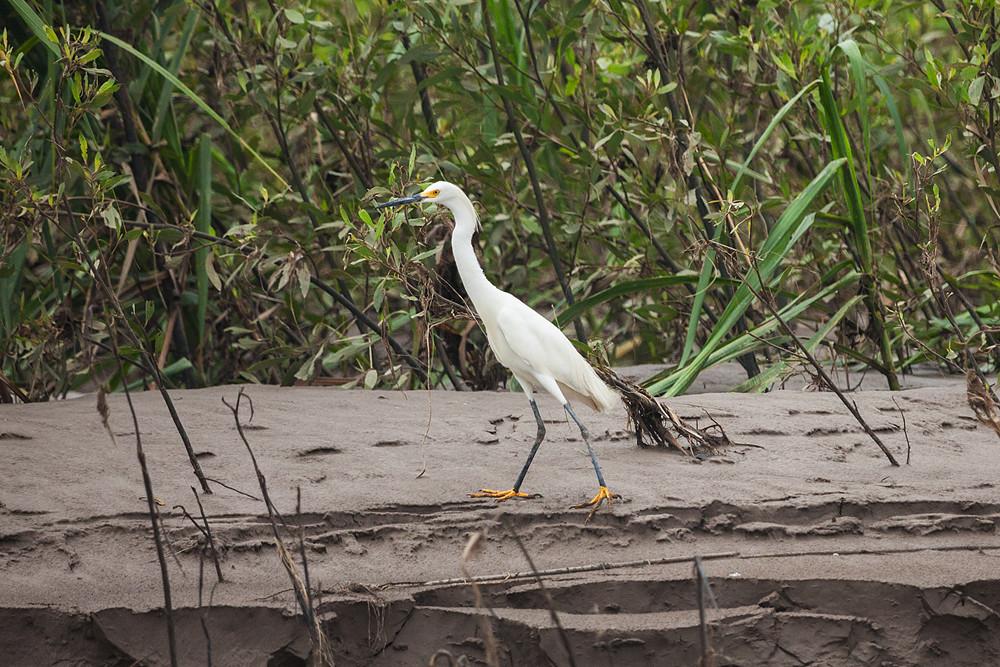 Белая американская цапля (Egretta thula)