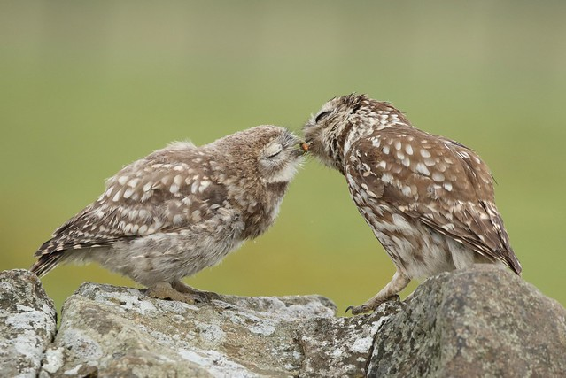 Adult little owl feeding an owlet