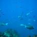 d3_plus posted a photo:メジナ, Largescale Blackfish,アイゴ, Rabbitfish,ニザダイ, Sawtail,沖ハヤマ, Reef OKI HAYAMA,ヒリゾ浜, Beach HIRIZO,南伊豆, South IZU,. #nikon #hirizo #Snorkeling #light_nikonNIKON 1 J4 + 1 NIKKOR VR 10-30mm f/3.5-5.6 PD-ZOOM + WP-N3