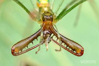 Big-jawed spider (Tetragnatha sp.) - DSC_5579