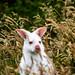 Furious Albino Wallabi