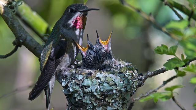 Anna Hummingbird Nest., Sony ILCA-99M2, Sony 500mm F4 G SSM (SAL500F40G)