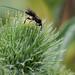 P7170057 parasitic wasp
