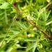 Willow Emerald Damselfly Chalcolestes viridis