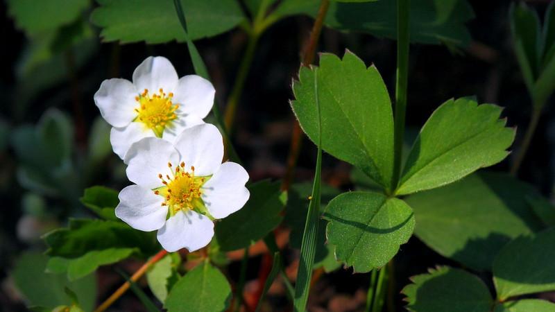 IMG_7772 Woodland Strawberry (Fragaria vesca)
