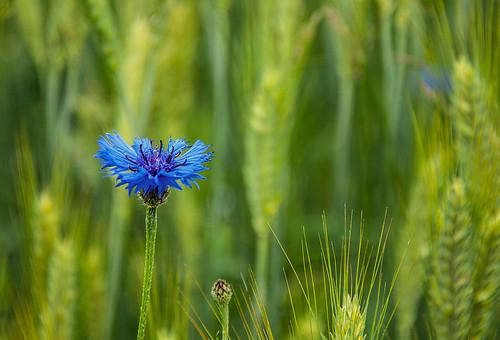 Einsame Kornblume