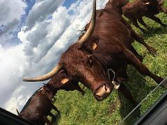 Montboudif, France #cows