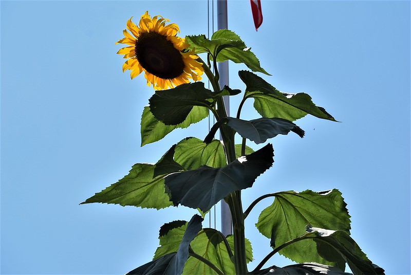 Sunflower Baselstrasse 22.07 (2)