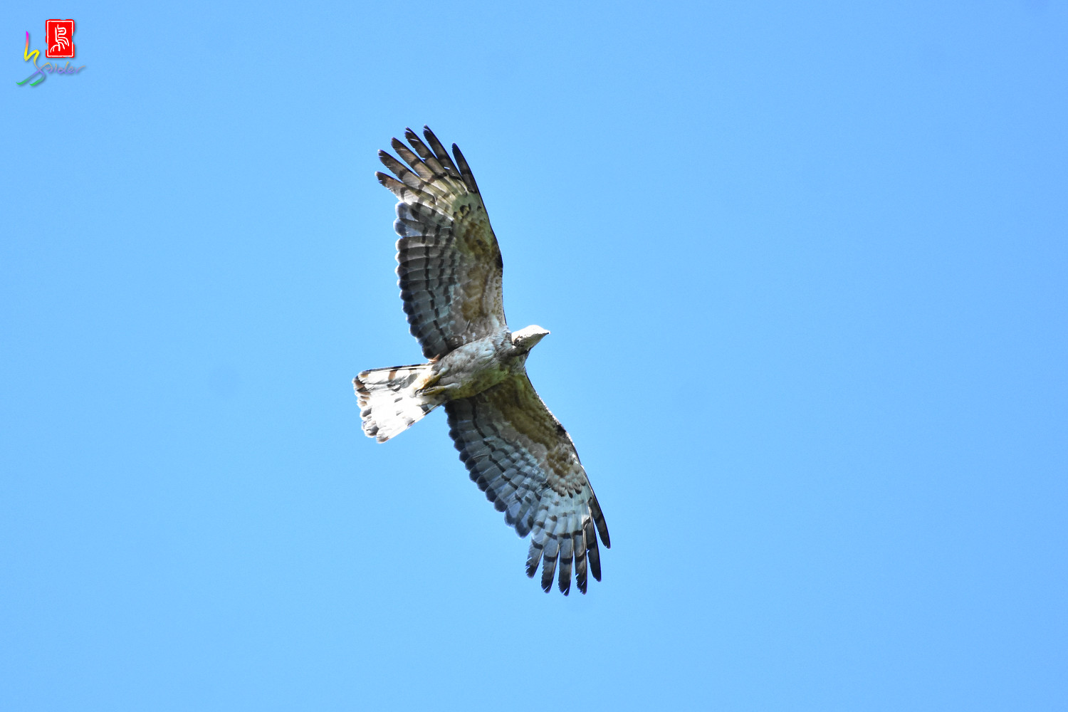 Honey_Buzzard_0180
