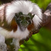 Cotton top Tamarin-5789