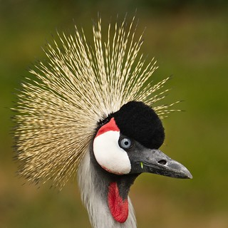 Gray crowned crane.