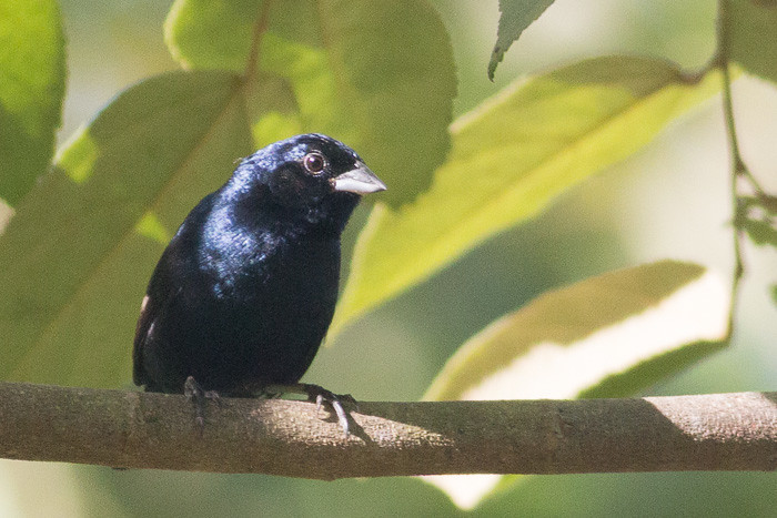 Blue-black Grassquit - male
