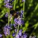 Banded white-tailed bumblebee