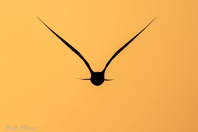 Common Tern Silhouette