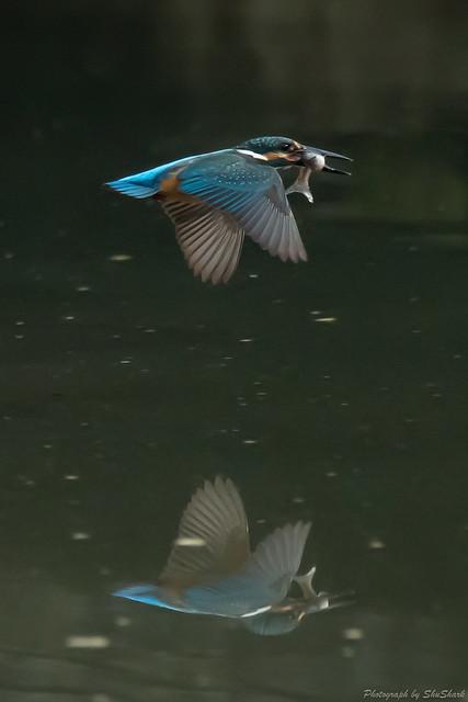20180715-kingfisher-DSC_6444