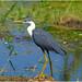 Pied Heron (adult) - Fogg Dam.02