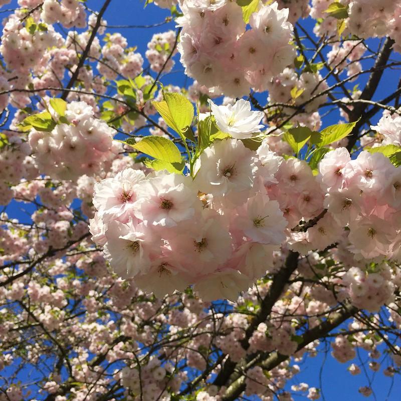 Regent's Park cherry blossom 2018
