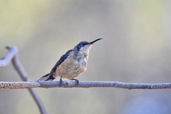Eastern Spinebill ( Juv. )