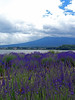 Photo:Lavender and Fuji ラベンダーと富士山 By Shutter Chimp: Im back!