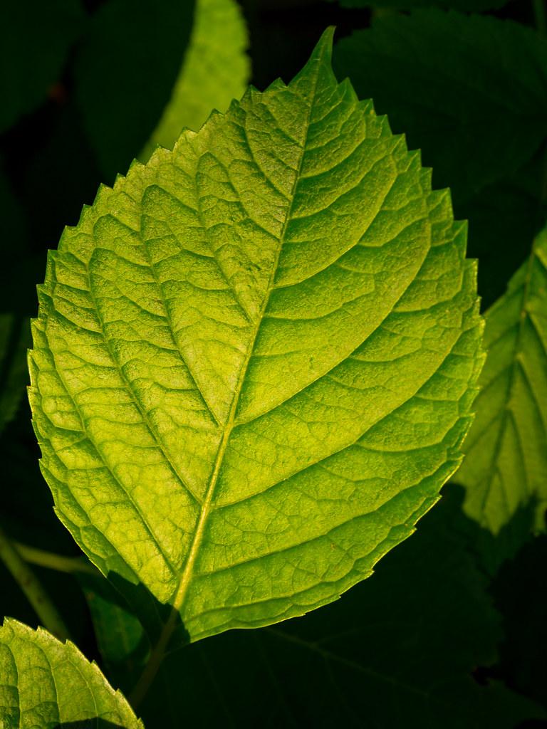A hydrangea leaf
