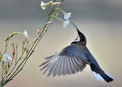 Eastern Spinebill-At work
