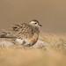Dotterel - Charadrius morinellus by Gary Faulkner's wildlife photography