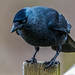 A Jackdaw in the sunlight, looking blue