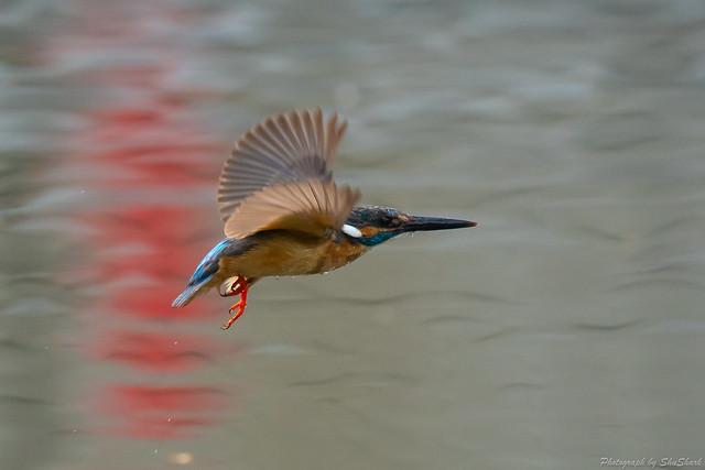 20180628-kingfisher-DSC_4587