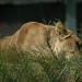 Lion hiding in grass