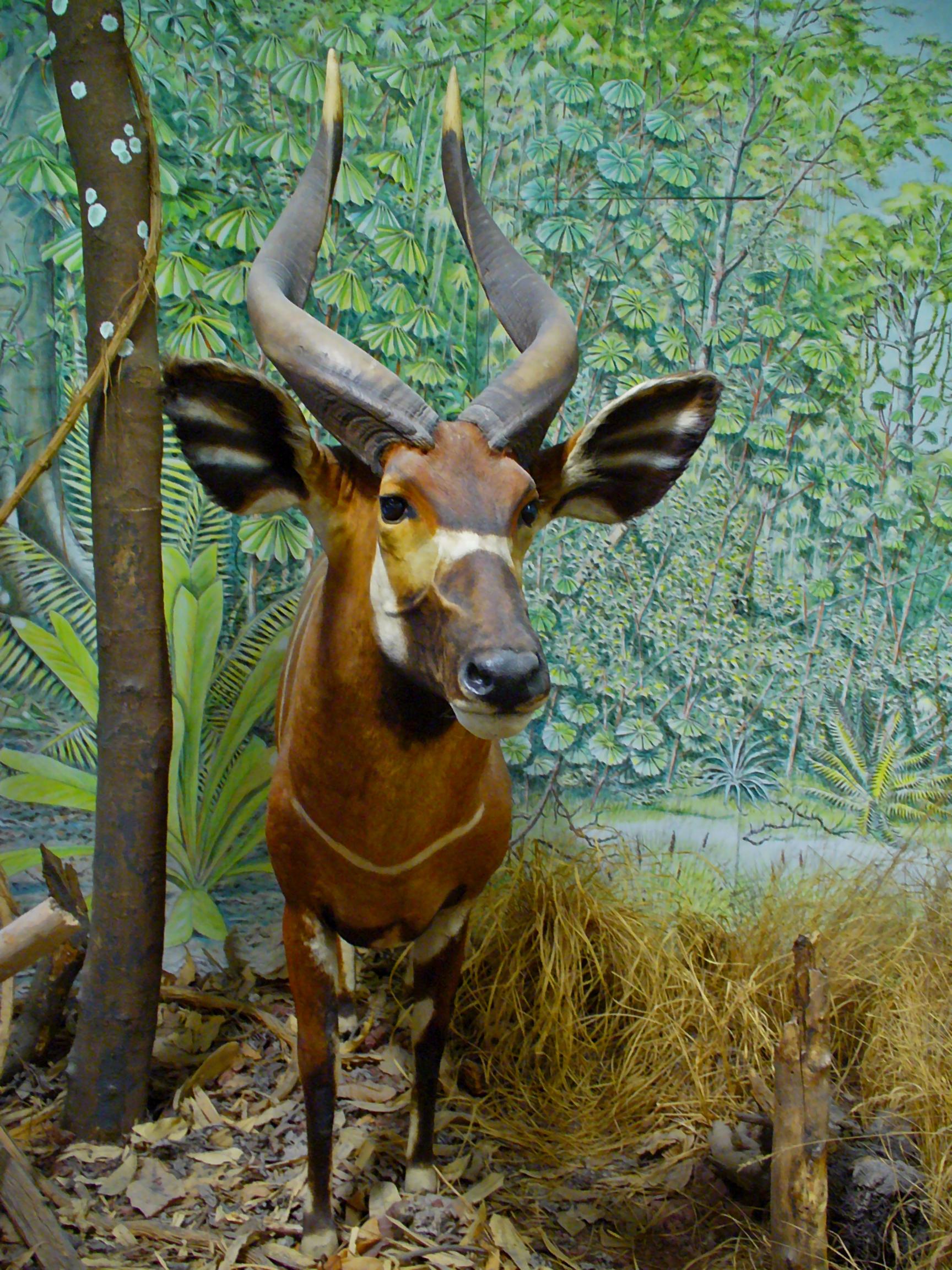 Tragelaphus eurycerus, Bovidae, Western Bongo, Lowland Bongo; Staatliches Museum für Naturkunde Karlsruhe, Germany. Photo taken on August 2, 2009.