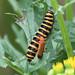 Cinnabar moth caterpillar and friend