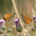 Small Skippers