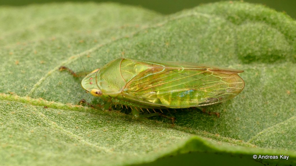 Leafhopper, Gypona sp., Cicadellidae
