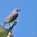 Tropical mockingbird - Moqueur des savanes - Sinsonte tropical - Mimus gilvus