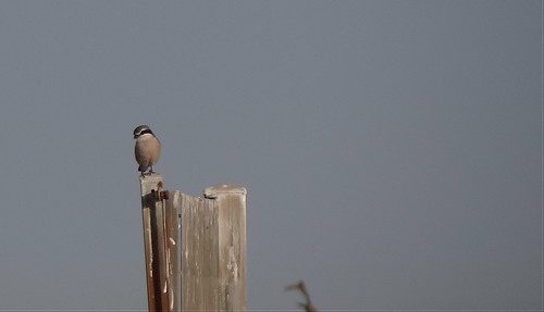 Southern gray shrike