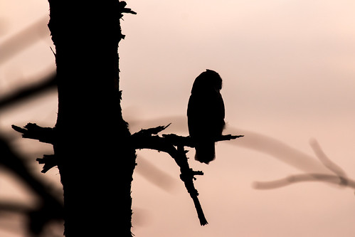 Silhouette of a long eared owl