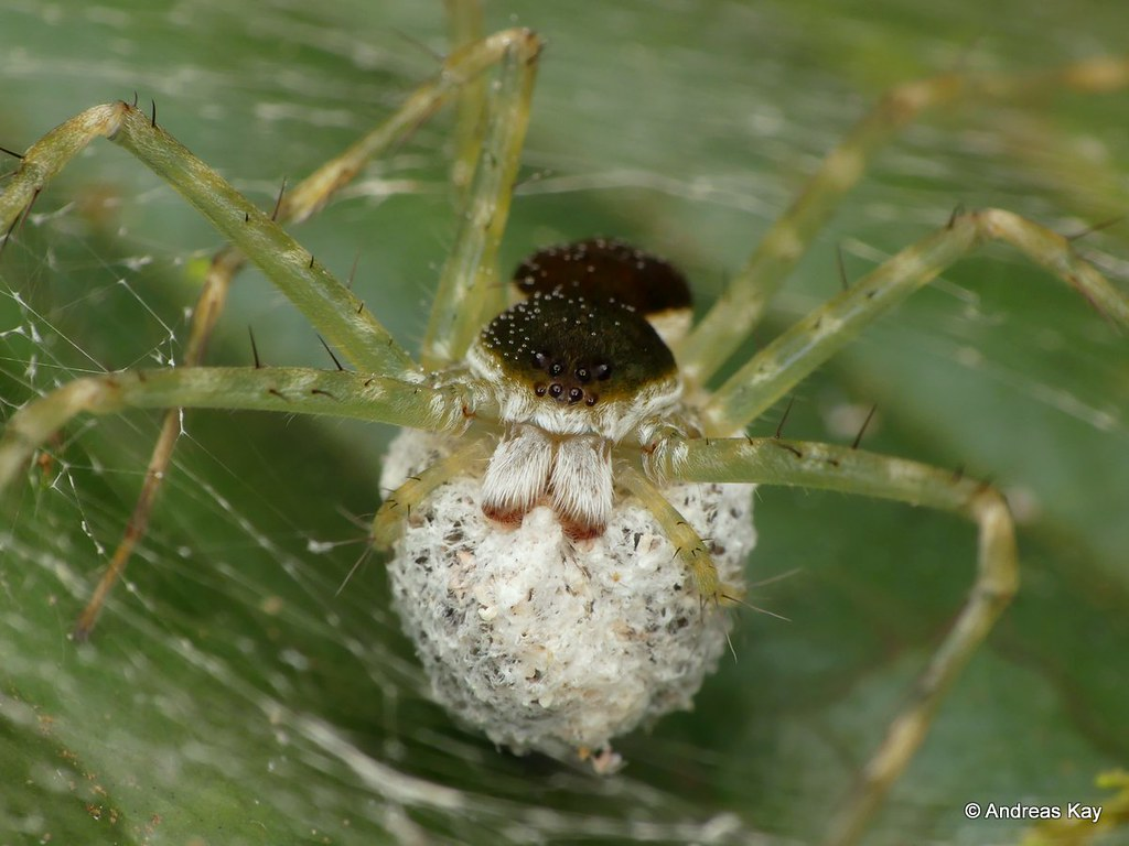 Nursery web spider, Pisauridae with egg sack
