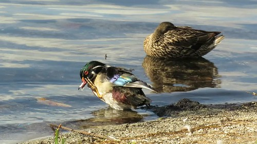 Wood Duck (Aix sponsa), June Lake, CA