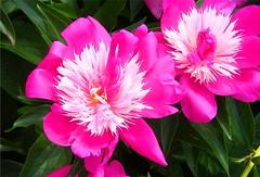Pretty Pink Twins