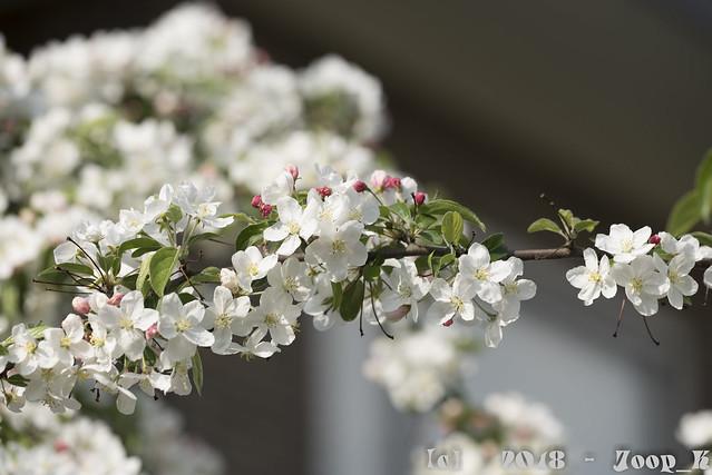 Blossoms White 2