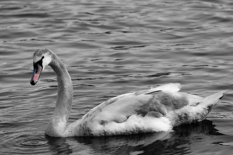 Swans 17.04 (3)