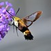 Snowberry Clearwing Moth by deanrr